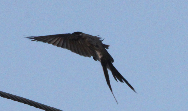 The Fork Tailed Flycatcher Big Year 2011