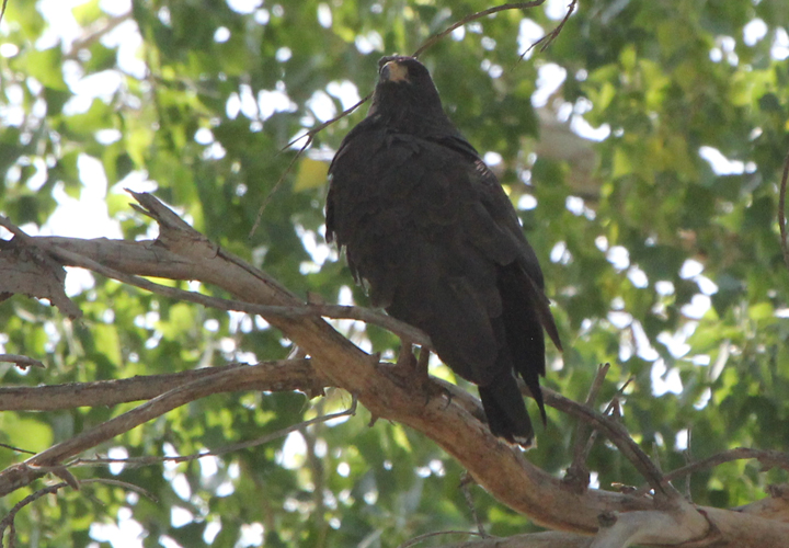 Common Black Hawk at Rio Grande Village         (Photo by John Vanderpoel)