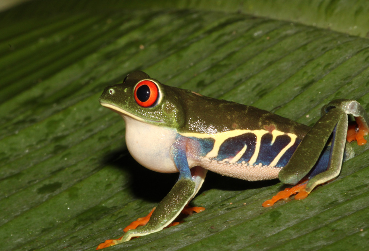 Red-eyed Treefrog (Agalychnis callidryas) the most photographed frog in the world.
