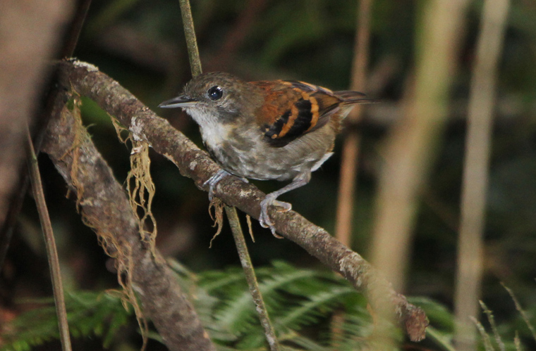 Female Spotted Antbird at the ant swarm