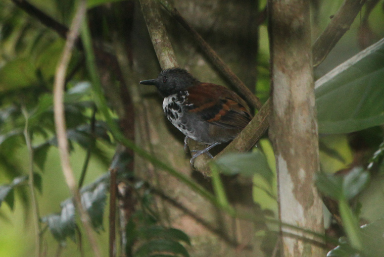 Male Spotted Antbird at the ant swarm