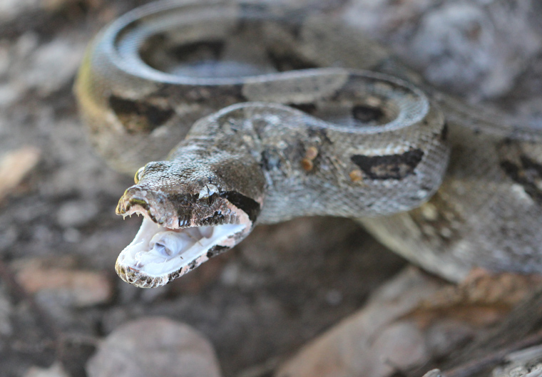 Boa Constrictor at Hacienda Pinilla