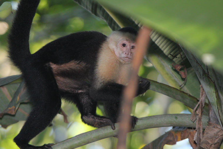 White-throated Capuchin on the River Trail. Carara NP