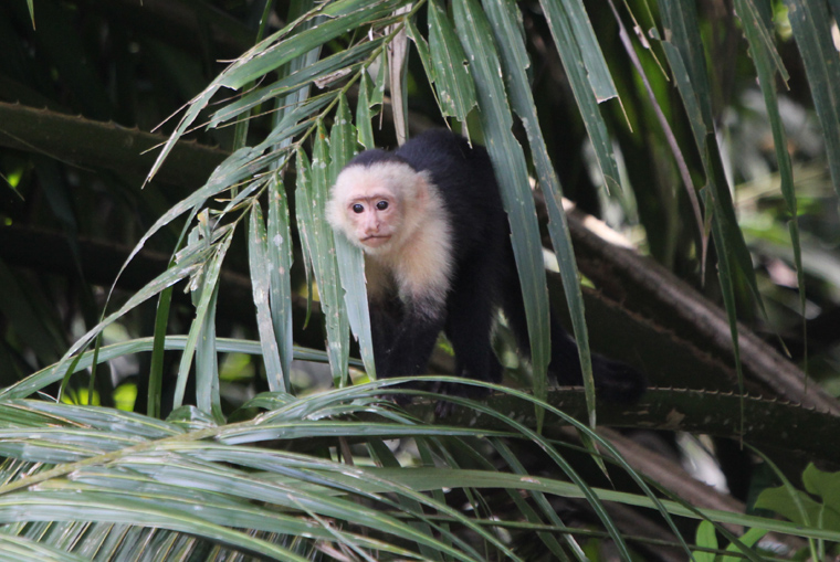 Curious White-throated Capuchin
