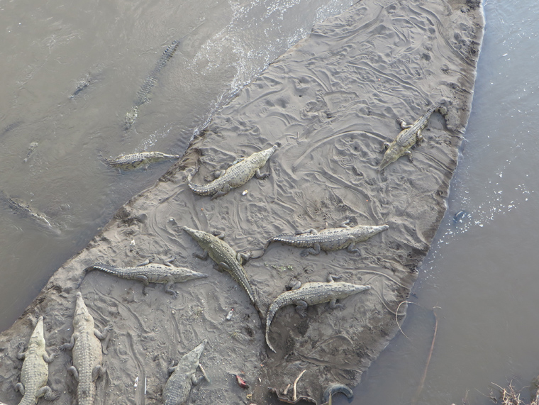American Crocodiles on the Tarcoles River