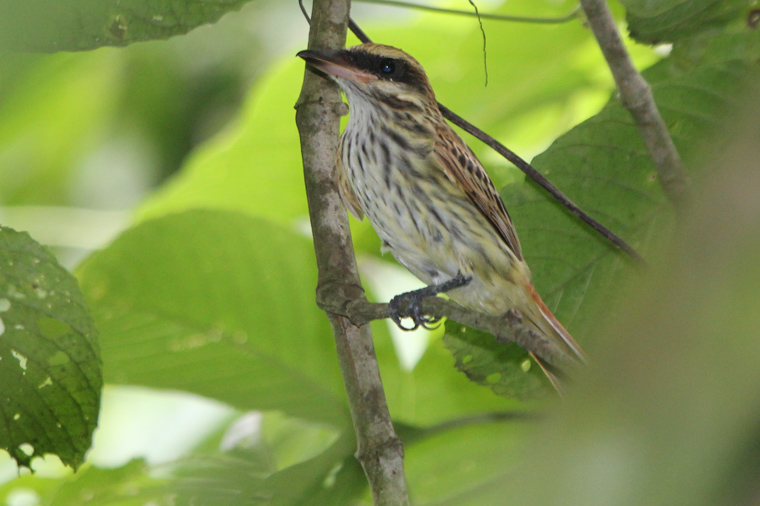 Streaked Flycatcher -lifer