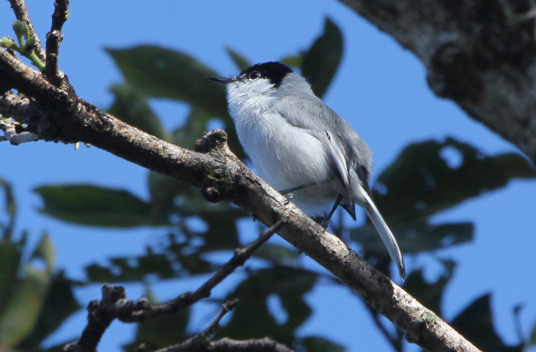 White-lored Gnatcatcher at Hacienda Pinilla