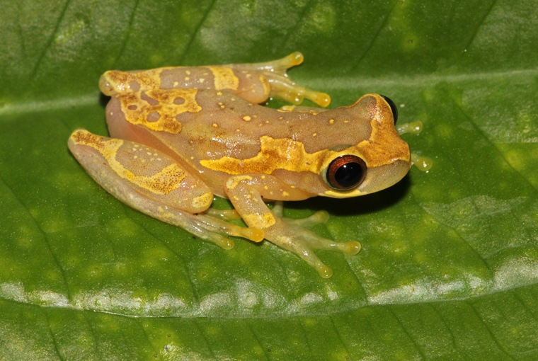 Hour Glass Tree Frog (Dendropsophus ebraccatus)