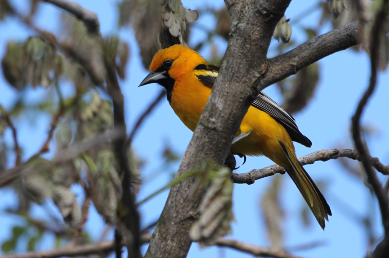 Streak-backed Oriole at Hacienda Pinilla