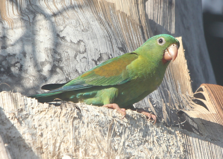 Orange-chinned Parakeet at Hacienda Pinilla