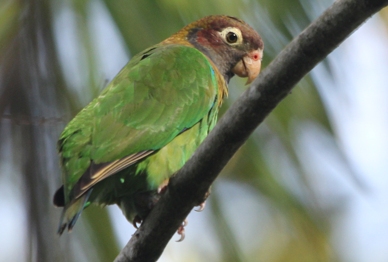 Brown-hooded Parrot at CRARC