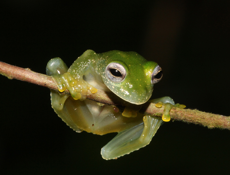 Powered Glass Frog (Teratohyla pulverata)