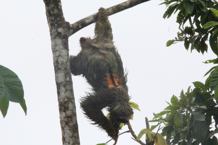 Three-toed Sloth along the highway