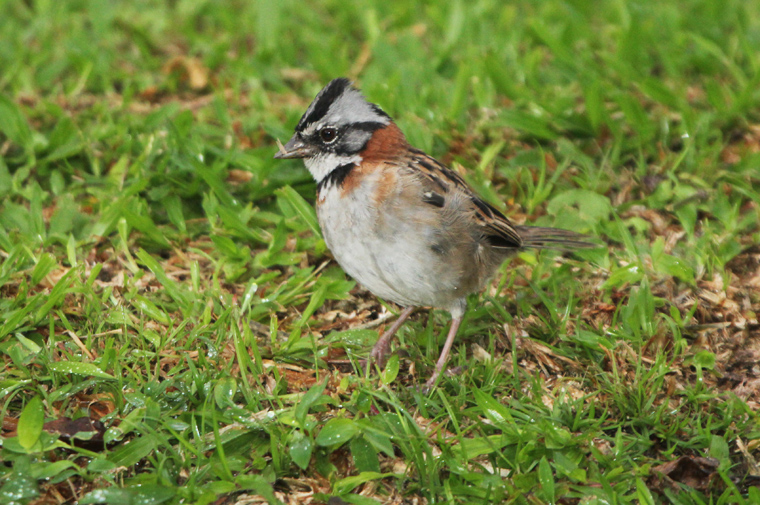 Ruofus-collared Sparrow