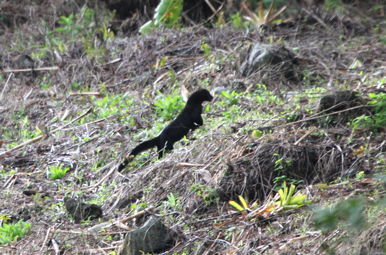 Tayra in Arenal NP