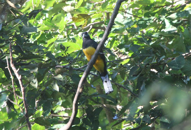 Black-headed Trogon            a lifer!!!