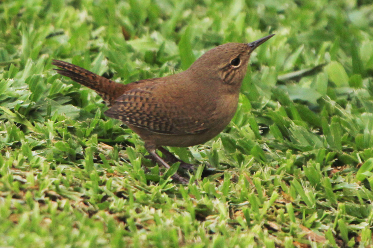 House Wren at Arenal Springs Resort